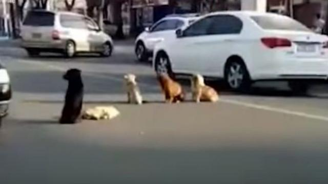 Four dogs block traffic, then drivers realize they're protecting body of a friend killed by a car