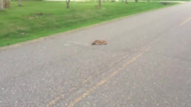 Mom Watches From The Woods As Driver Walks Up To Her Collapsed Fawn, Performs A Miracle
