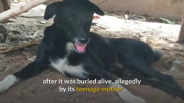 Dog digs out baby buried alive by her teenage mother