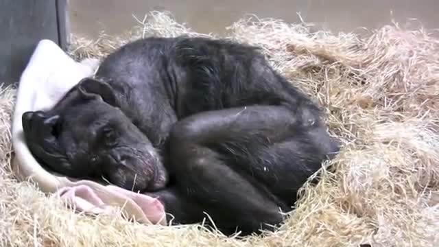 59-year-old chimp, Mama, is dying – just look what she does when she sees lifelong friend