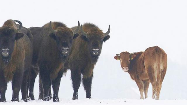 Meet the cow who ran away from the farm to join a herd of bison