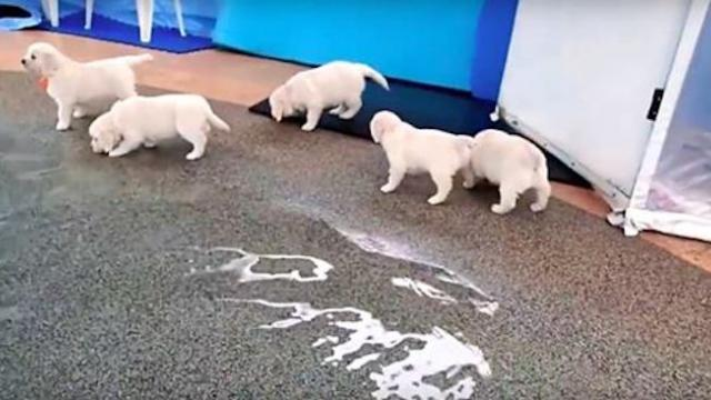 Eight golden retriever puppies go to the pool for the first time, and they know exactly what to do