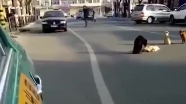 4 dogs block traffic, drivers realize they're guarding the body of a friend killed by a car