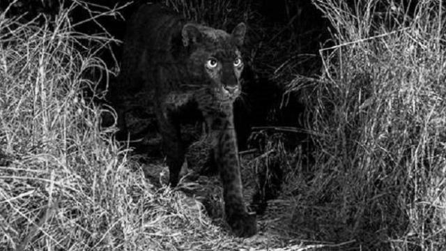 A wild African black leopard has been photographed for the first time in more than 100 years