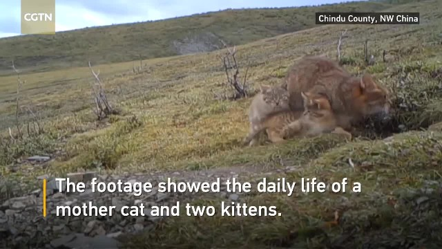 """"""" Rare Chinese mountain cats captured on video for the first time"""""""