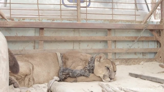 Mountain lion that was chained for 20 years has heartwarming reaction when he's finally freed