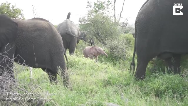 Little pink elephant discovered in South African national park