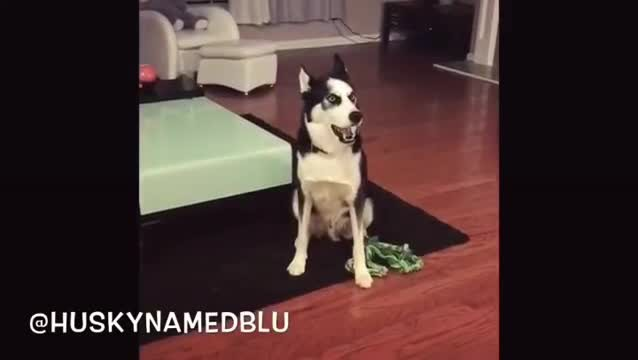 Husky Gets a Scolding From Mom, Then Throws Oscar-Winning Tantrum