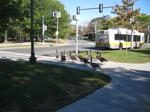 Flock Of Geese Crowd Street Corner. But When Light Turns Red, They Use Crosswalk Like Humans