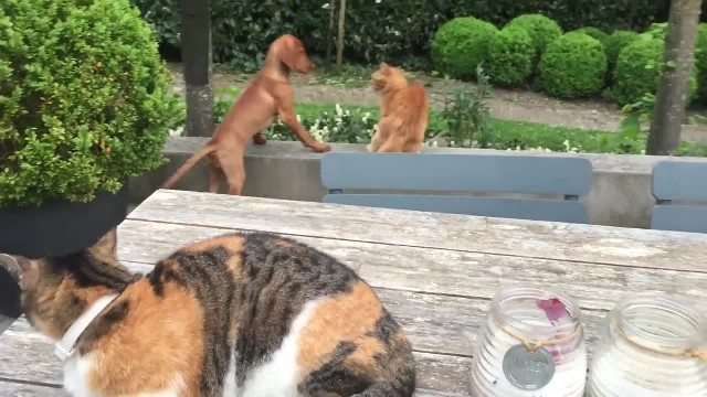 CAT SEES ANOTHER CAT AND REALIZES HE'S BULLYING HIS DOGGY FRIEND, SO HE TAKES INSTANT REVENGE!