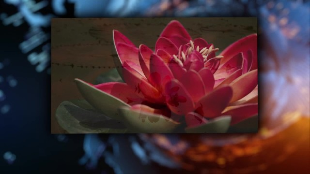 Do you know the meaning behind the lotus flower?