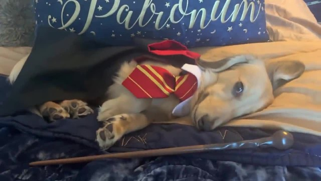 A woman trained her dog to respond to 'Harry Potter' spells, and the video is pure magic
