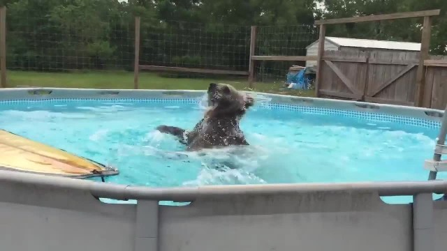 Adorable baby bear loves taking a dip in the swimming pool to cool off the summer heat